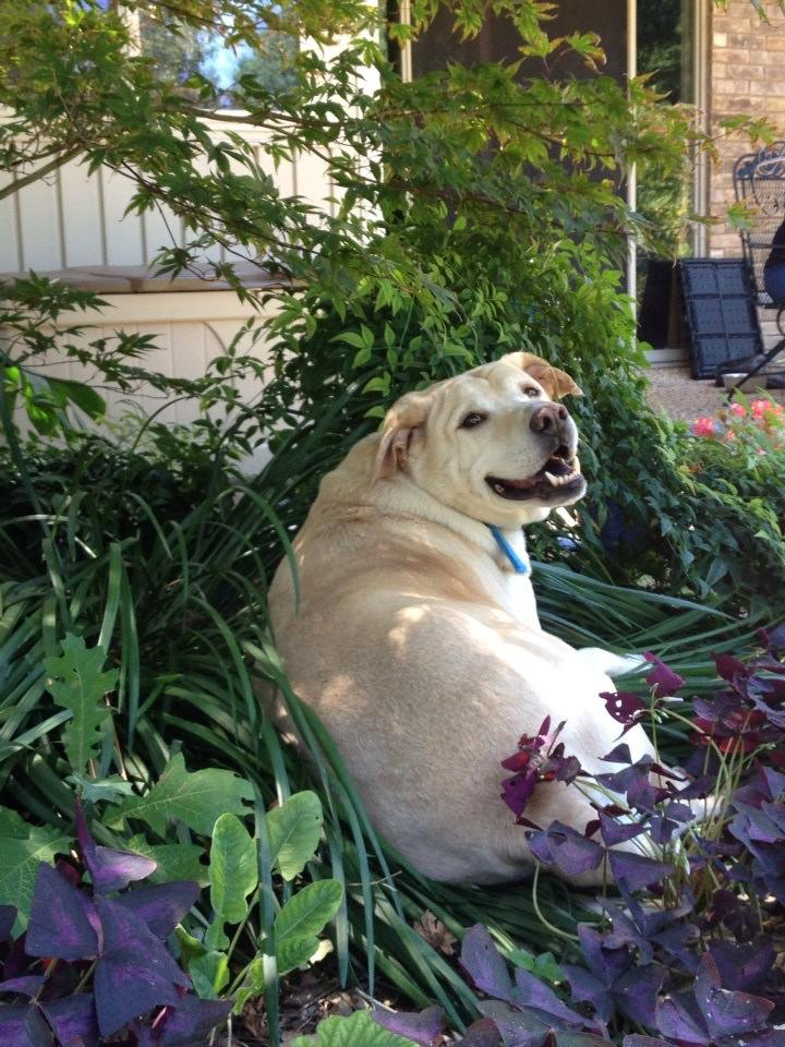 Bailey taking refuge from the Texas heat, right in the middle of my flower bed.